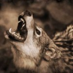 img-coyote2